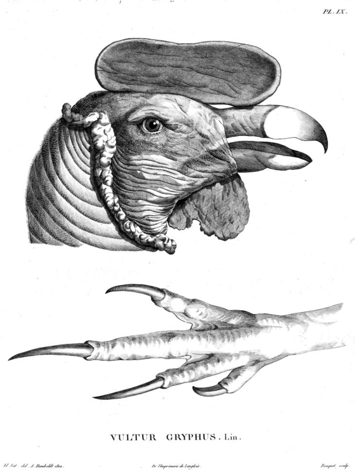 Head-claw-Vultur-gryphus-Humboldt-Zoologie-T09p170