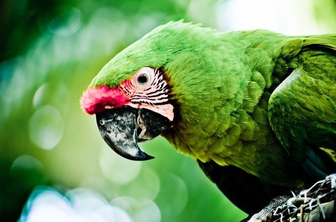 parrot-2466268_1280_pixabay